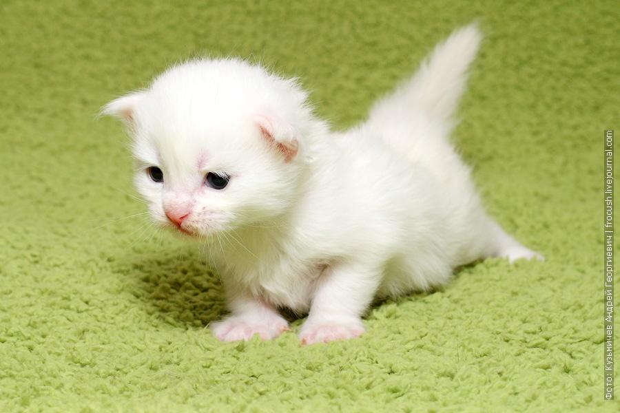 фотография белый котенок Мейн-кун