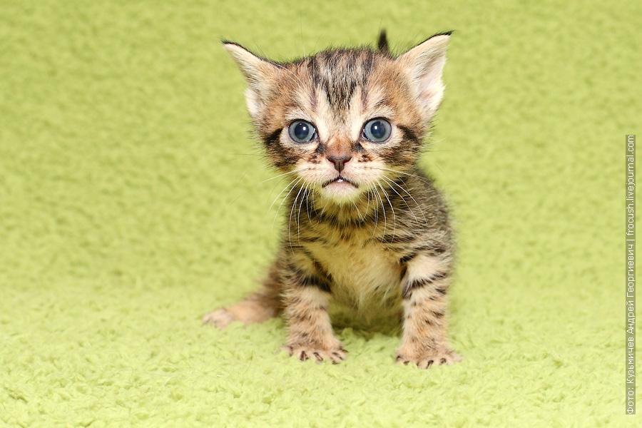 Бомбейские котята купить в Москве