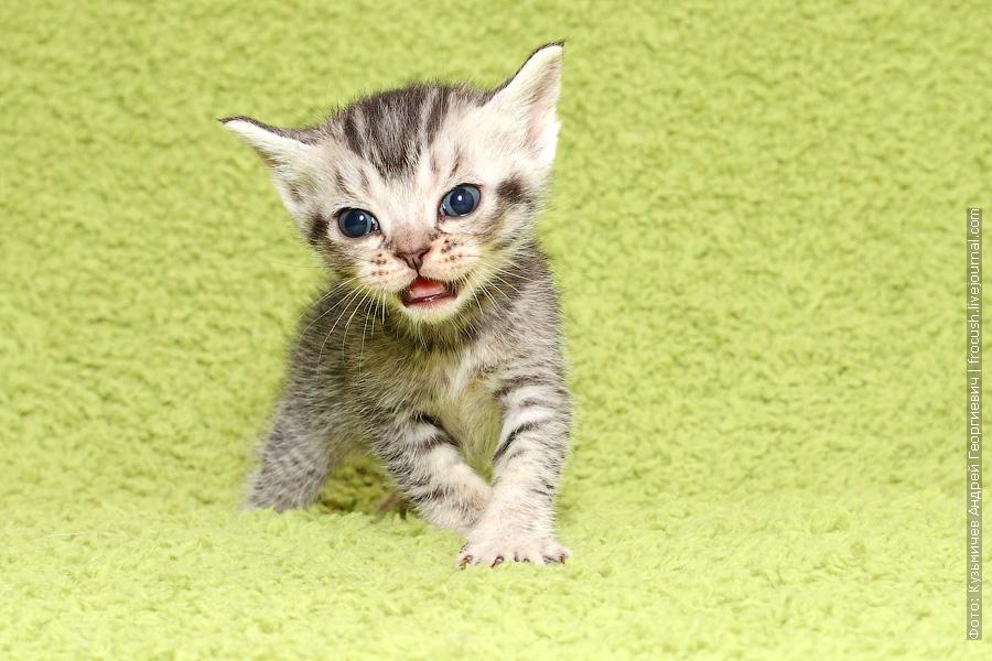 питомник Бомбейские котята