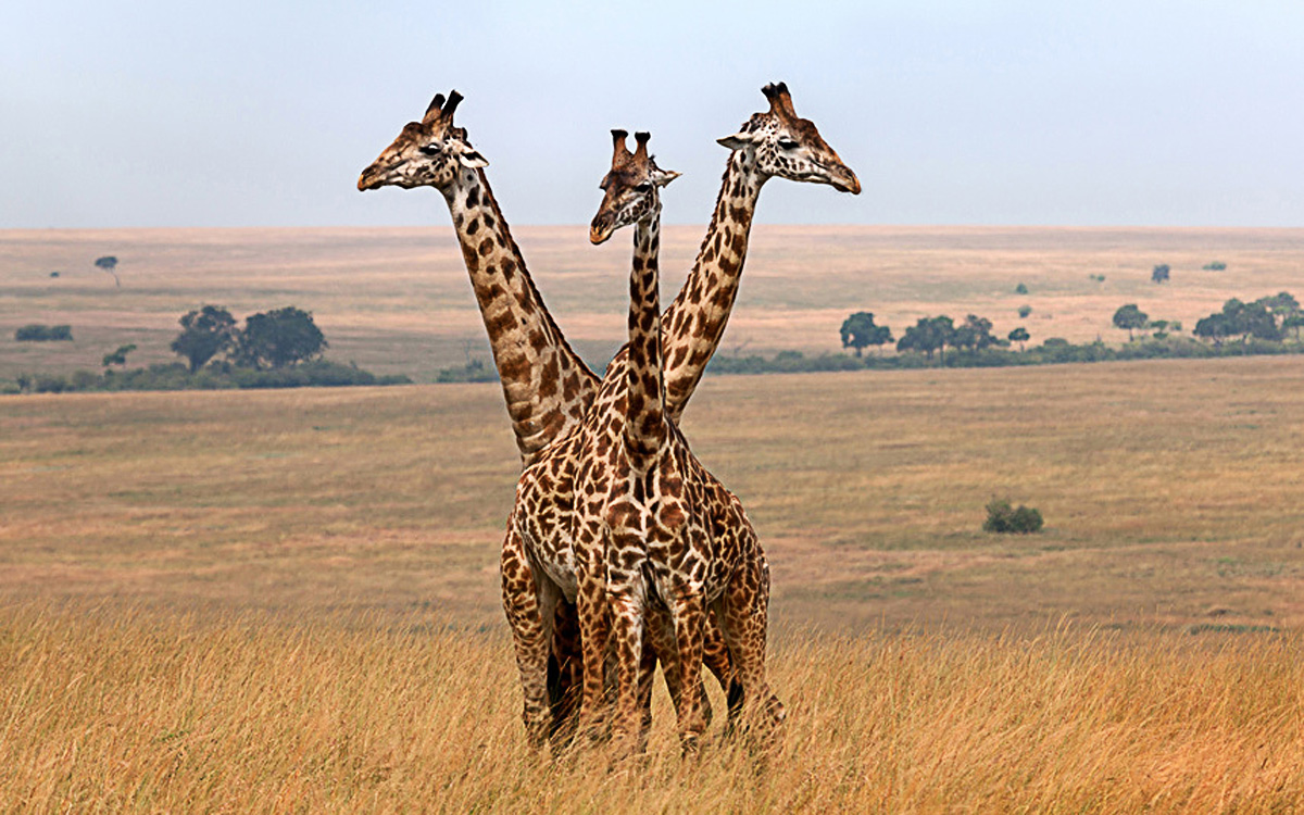 Three giraffes appear to blend into one on the Masai Mara National Reserve in Kenya