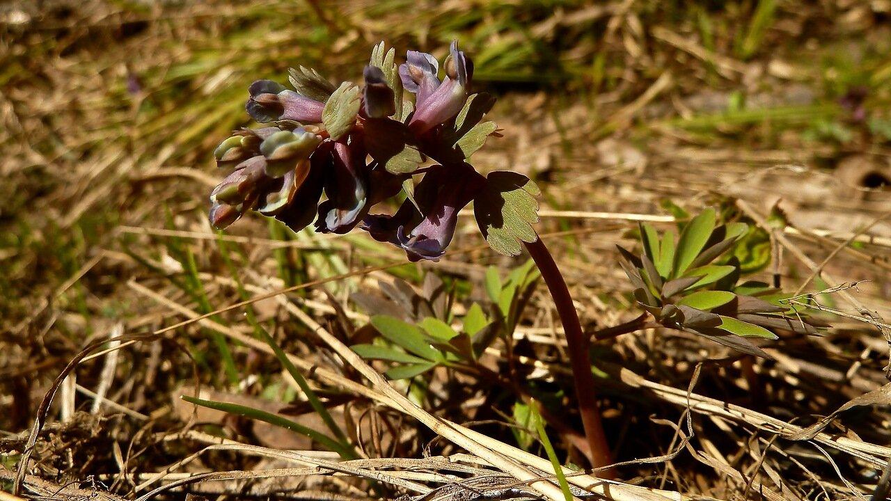 Хохлатка плотная (Corydalis solida). Автор фото: Сергей Апполонов