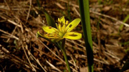 Гусиный лук жёлтый (Gagea lutea) Автор: Сергей Апполонов