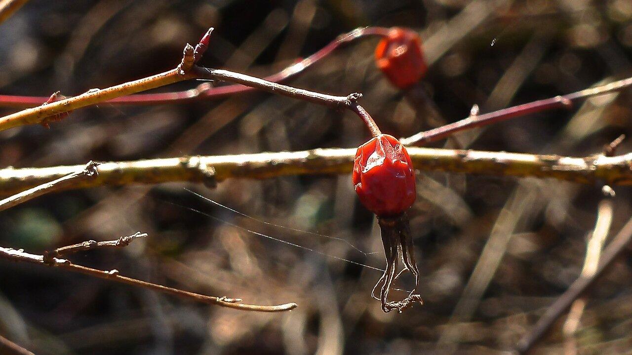 Шиповник луговой  (Rosa pratorum). Автор фото: Сергей Апполонов