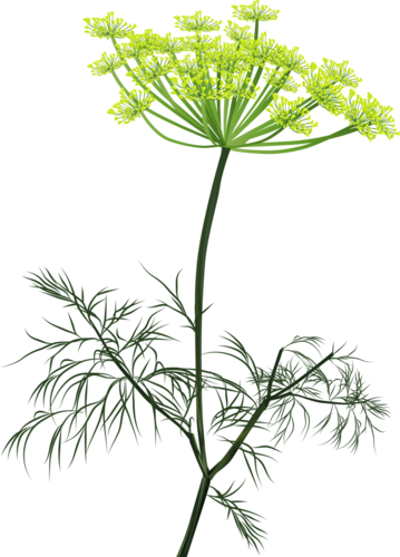 dill-blooming-green-isol-r [преобразованный].png