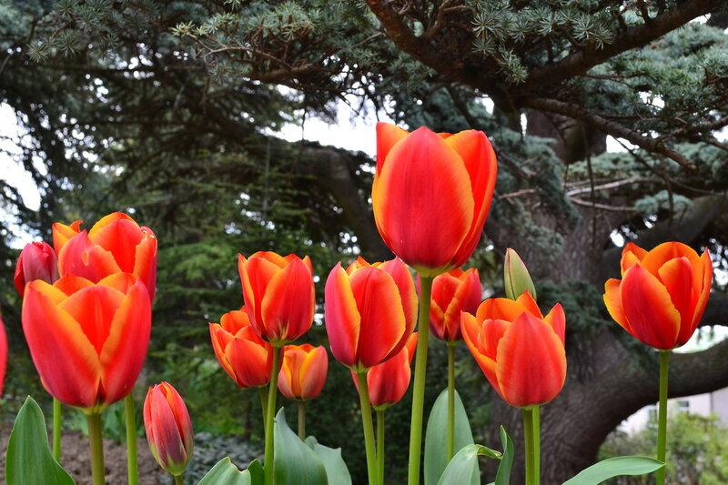 Никитский ботанический сад. Тюльпаны