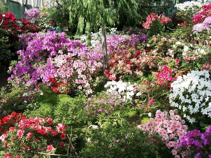 Азалия в саду