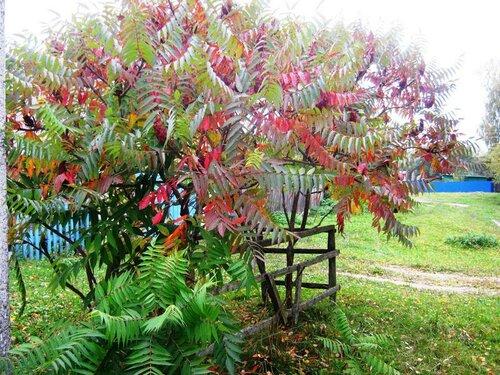 Сумах оленерогий или уксусное дерево.