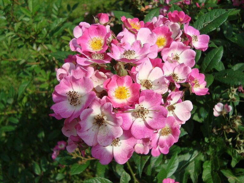 Розы Моцарт.
