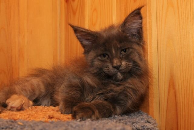 Кошка мейн-кун Жаклин у себя дома