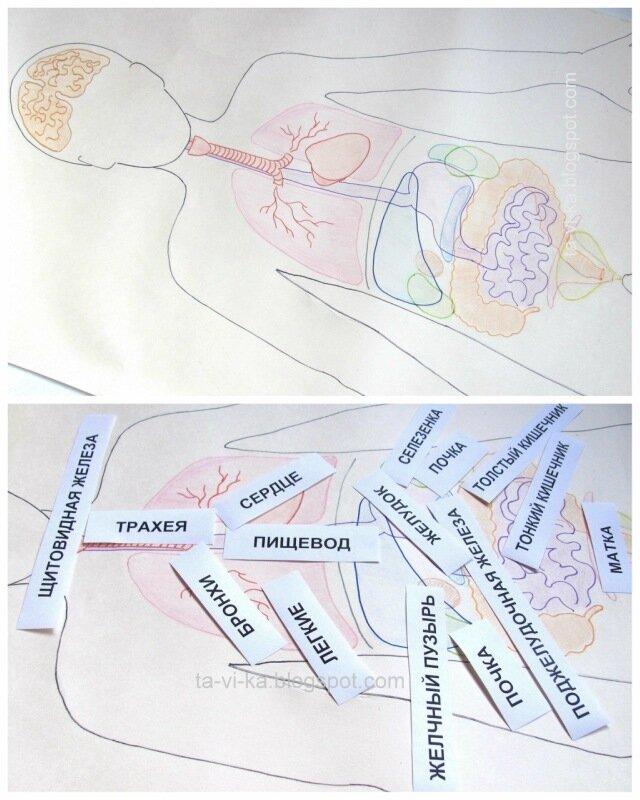 внутренние органы человека: пособие для дошкольников