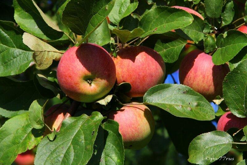 Яблочки.
