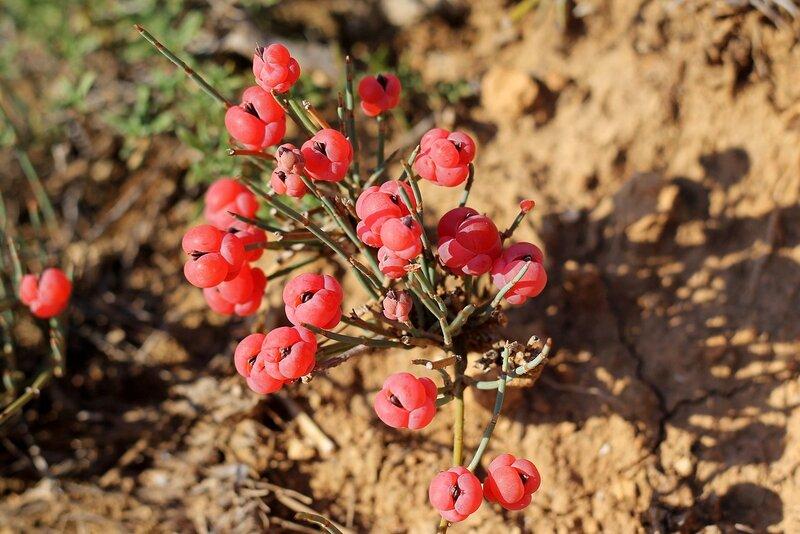 Эфедра хвощевая или Хвойник (Ephedra equisetina)