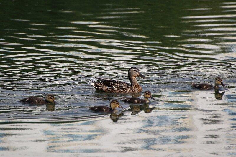 Утка с утятами на воде пруда