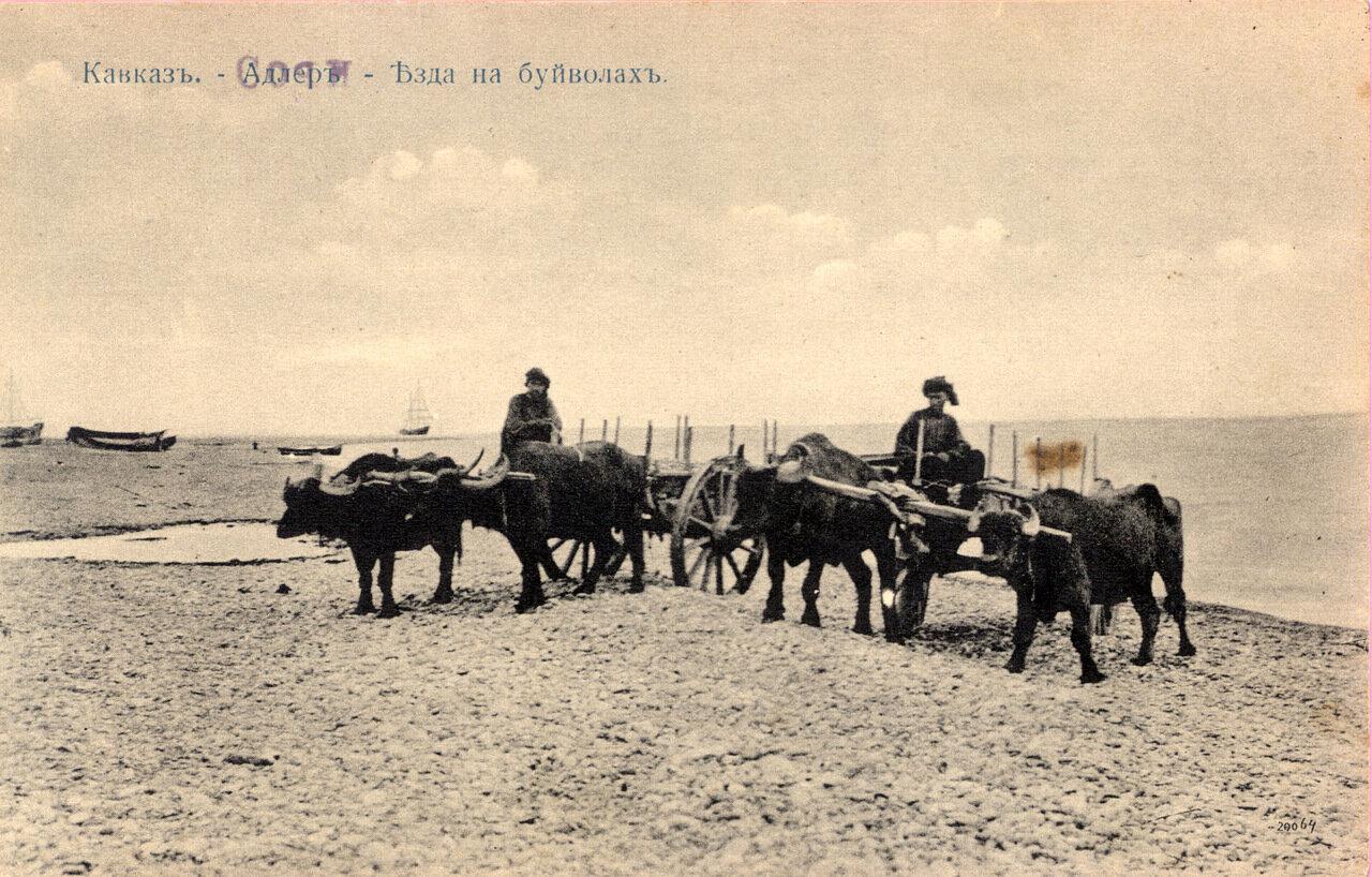 Адлер. Езда на буйволах