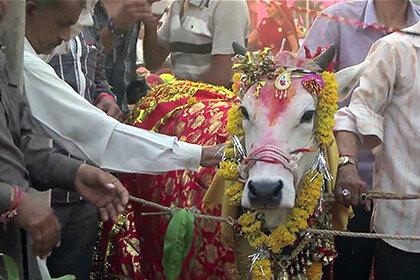 Свадебная церемония быка и коровы стоила 17 тысяч долларов