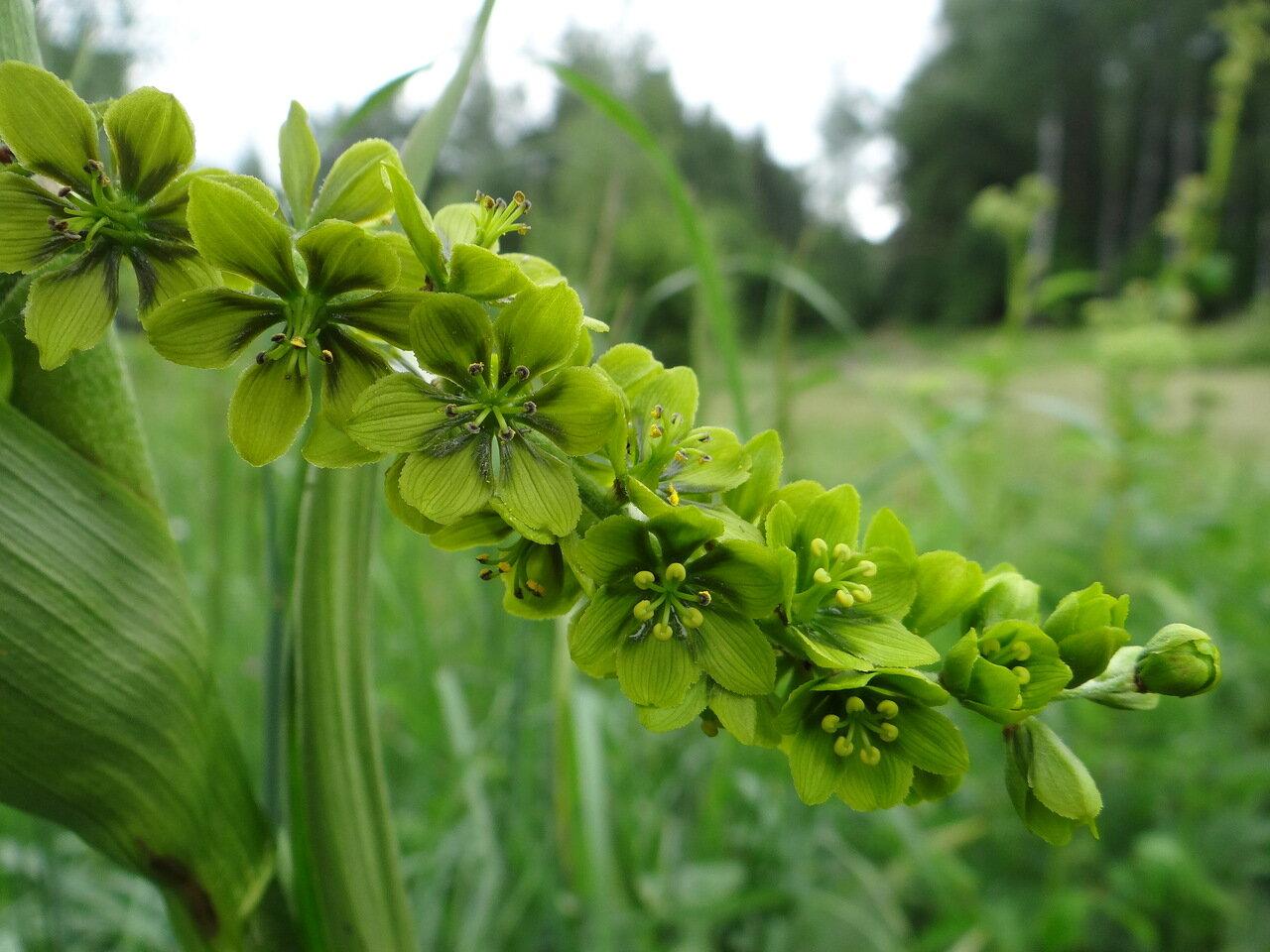 Чемерица Лобеля (Veratrum lobelianum)