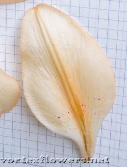 лепесток лилии