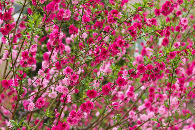 Розовые и малиновые цветы сакуры, Пекин