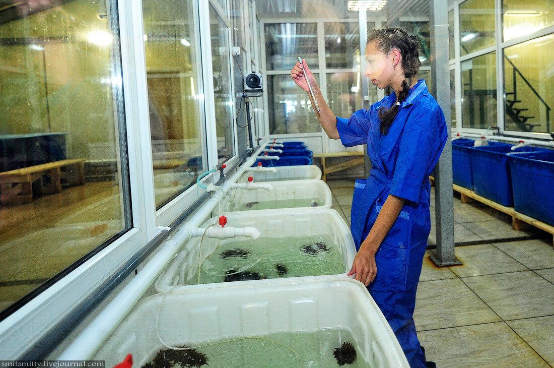 Как выращивают трепанга
