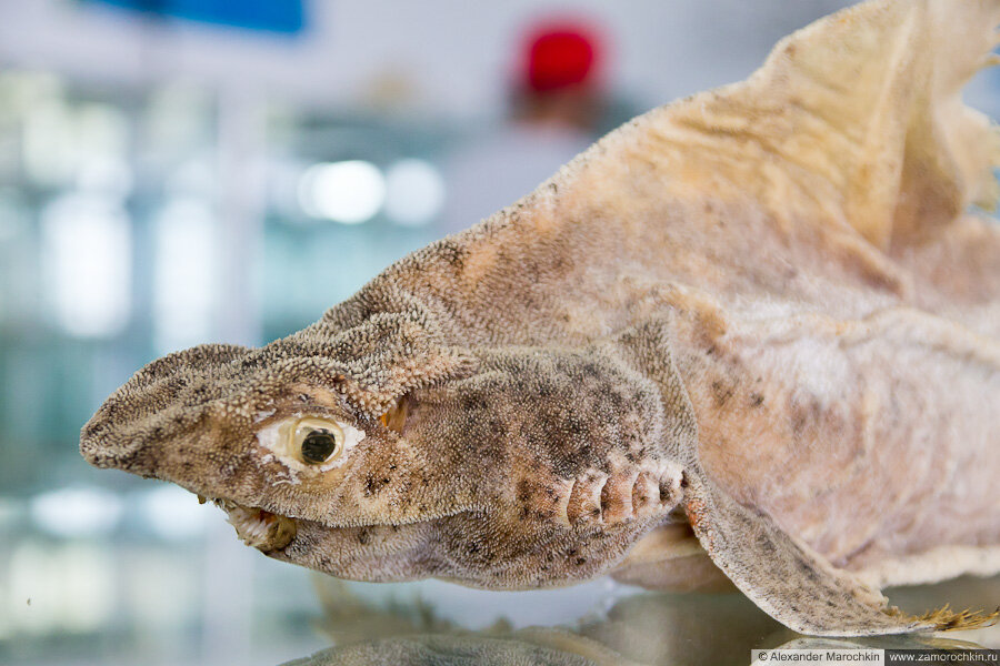 Чучело рыбы в музее ракушек Корфу