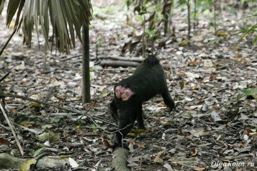 Черные макаки - эндемик севера Сулавеси