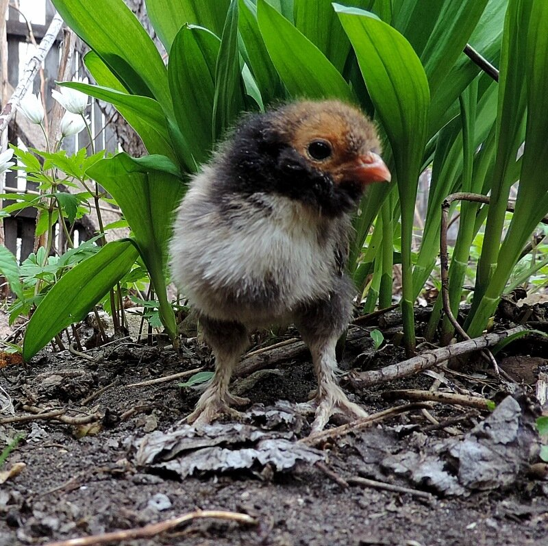 Цыплята 2014