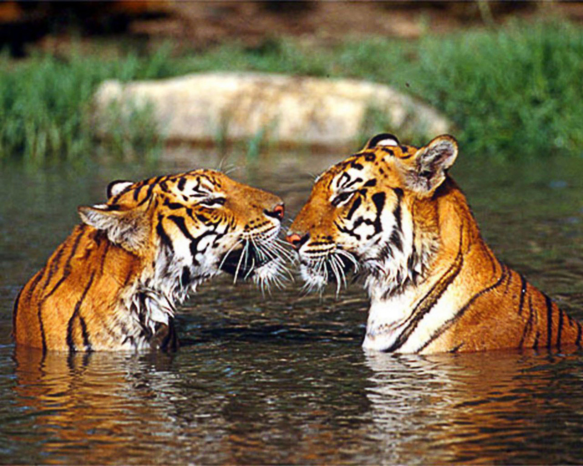 Bengal  tigers in the water, facing each other Bangkok Zoo Thailand.