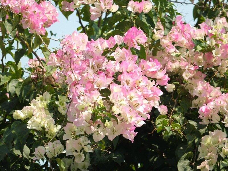 цветущие бугенвиллеи