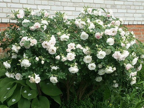 Ритаусма роза энциклопедия роз