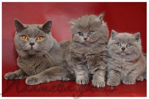 Лаптева-фото - Фотографии животных для питомников и заводчиков 0_fa26a_1b591092_L