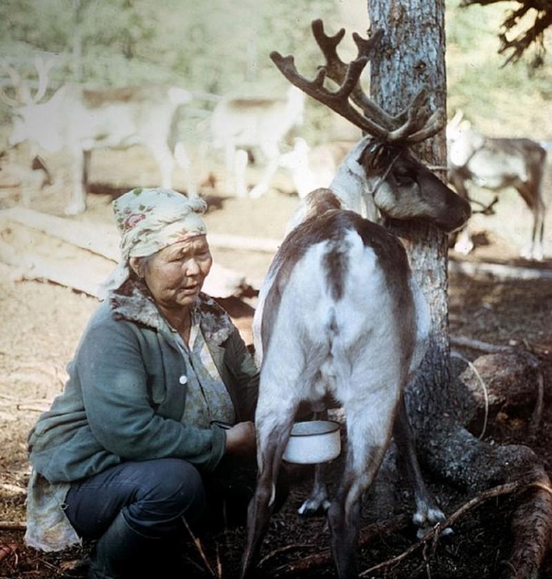 11. Оленье молоко Оленье молоко производится только в северных регионах, и до недавнего времени за п