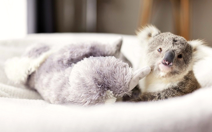 Первая фотосессия крошки коалы (9 фото)