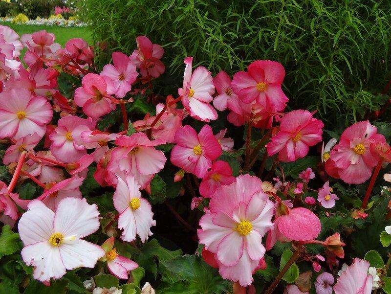Клумба с цветущей бегонией