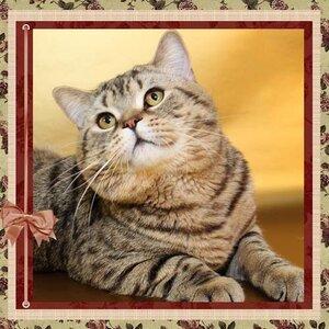 БравоБРИ Жофрей британский короткошерстный черный пятнистый кот