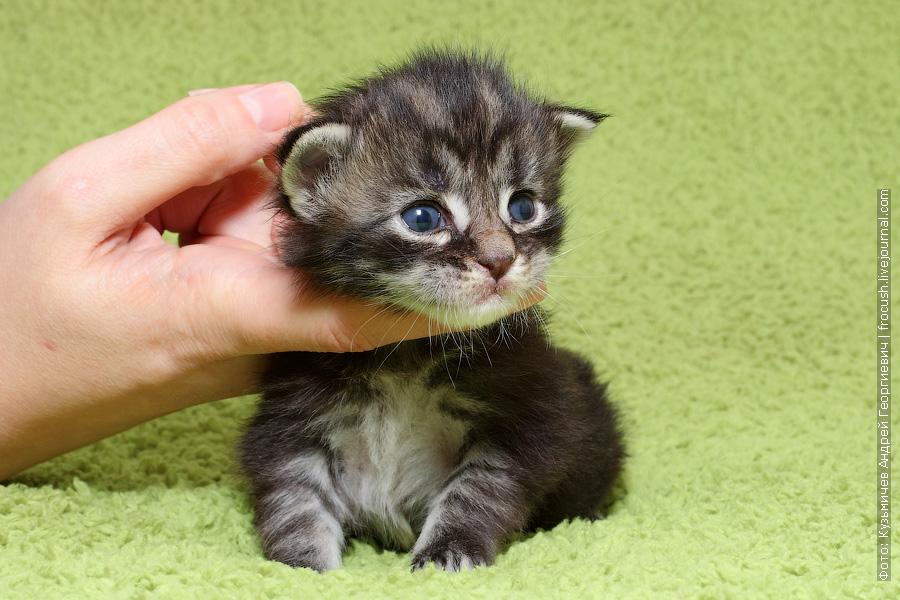 питомник Москва котенок Мейн кун