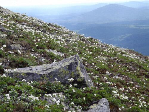 Типичная растительность пояса горных тундр Уральских гор