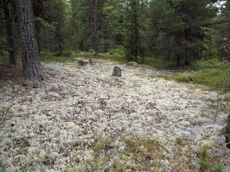 фото ягель в тундре