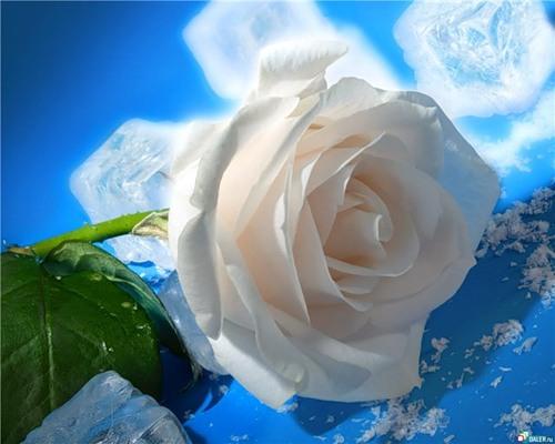 Белая роза с рассыпанными кубиками льда