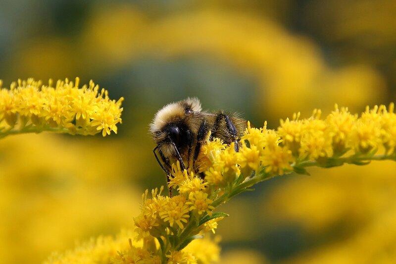 Шмель собирает нектар на жёлтой веточке северной мимозы 7091