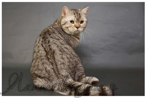 шоколадный серебристый пятнистый британский кот