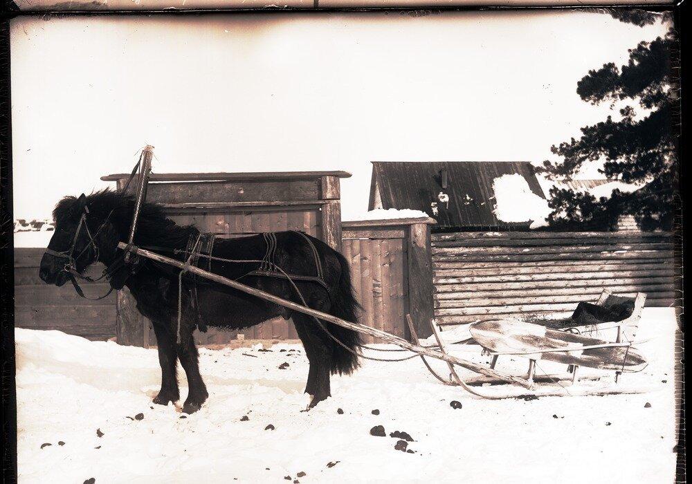 1913. Село Ларьяк.  Конь, запряженный в нарту