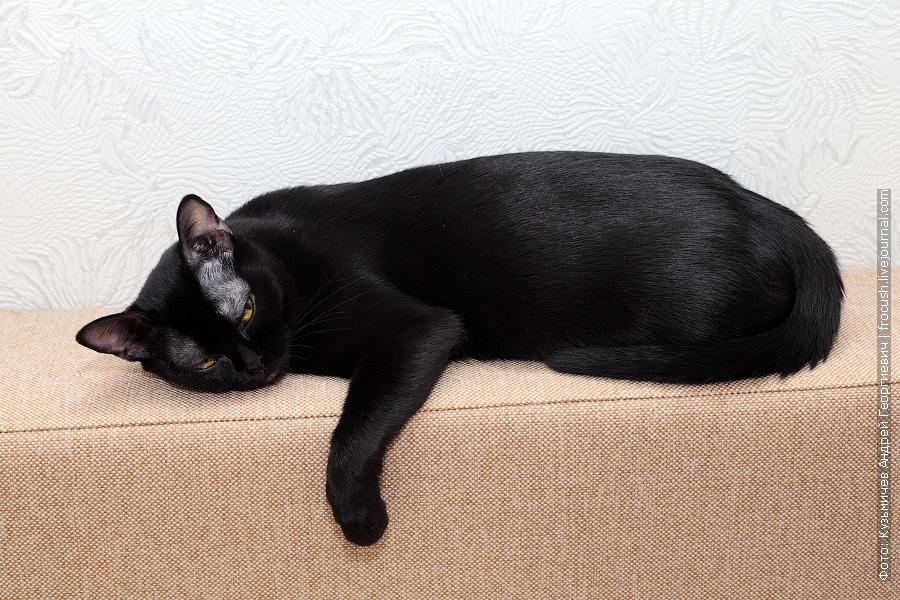 фотография бомбейской кошки