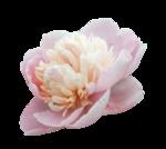цветы_розовые (5).png