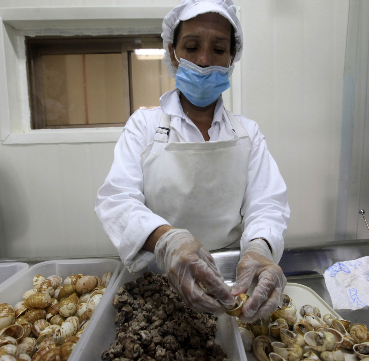 A worker prepares the meat of snails (Helix Aspersa), cooked and packed in their shells, in a farm near Choachi