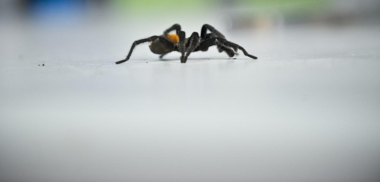 CHILE-SPIDER FARM-EXPORT