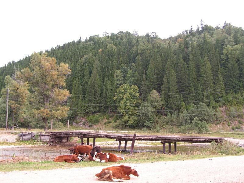 Местные коровы на берегу реки Аша (04.07.2013)
