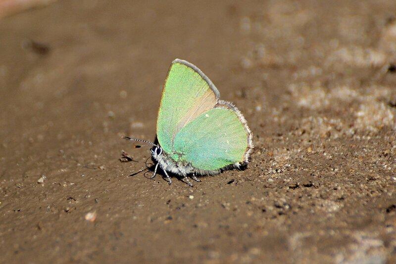 Зелёная бабочка - Малинница, или голубянка малинная (Callophrys rubi)