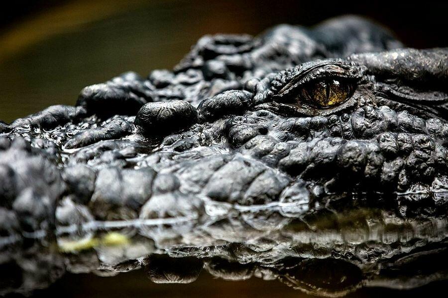 Cамый большой крокодил в мире Кассиус Клей