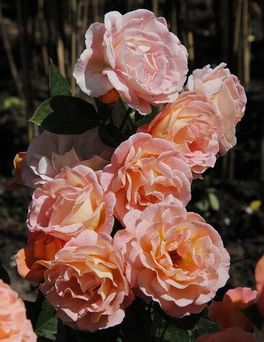 Роза чайно-гибридная Розмари Хакнесс (Rosemary Harkness) Harkness 1985 Посадка 2010 года