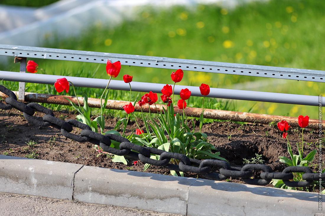 Тюльпаны уже отцветают